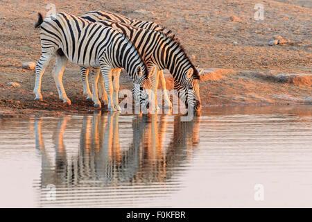 Namibia, Etosha National Park, plains zebras at water hole - Stock Photo