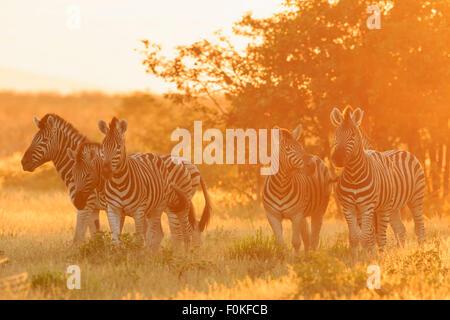 Namibia, Etosha National Park, plains zebras by sunset - Stock Photo