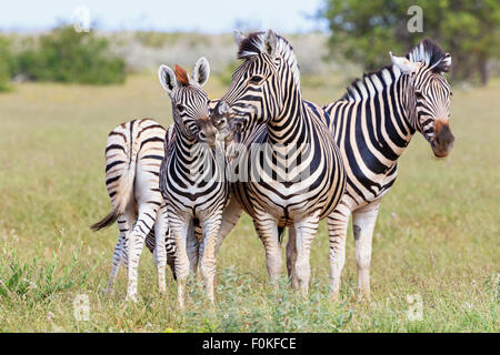 Namibia, Etosha National Park, family of plains zebras - Stock Photo