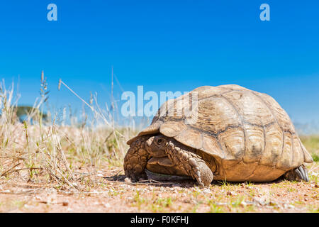 Botswana, Kalahari, Kgalagadi Transfrontier Park, leopard tortoise - Stock Photo