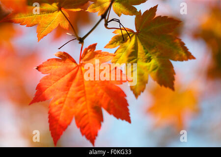brilliant autumn colour of the changing maple leaf Jane Ann Butler Photography JABP1330 - Stock Photo