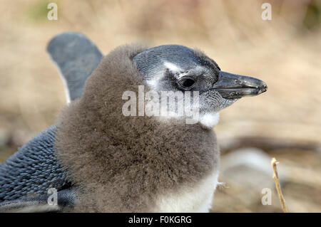 African penguin (Spheniscus demersus) chick malting - Stock Photo