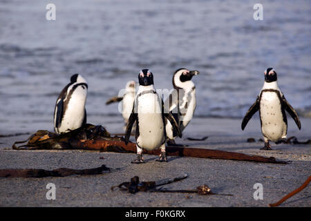 African penguins (Spheniscus demersus) exit water using concrete boat ramp at Betty's Bay, South Africa - Stock Photo