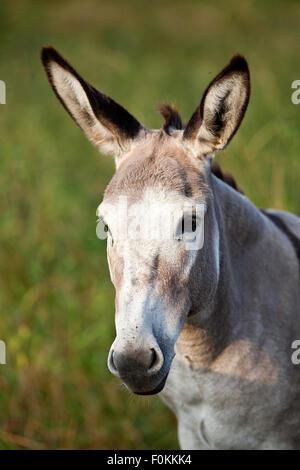 cute donkey portrait - Stock Photo