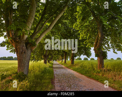 Chestnut avenue in Solzow, Mecklenburg Western Pomerania, Germany - Stock Photo