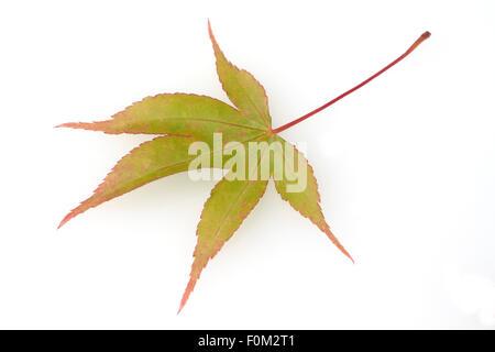 Faecherahorn, gruener, Acer, palmatum,  Osakazuki - Stock Photo