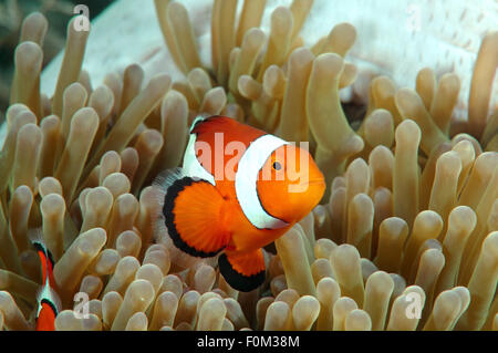 Bohol Sea, Philippines. 15th Oct, 2014. clown-anemonefish (Amphiprion percula) Bohol Sea, Philippines, Southeast - Stock Photo