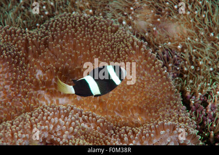 Bohol Sea, Philippines. 15th Oct, 2014. Sebae Anemonenfisch (Amphiprion sebae) Bohol Sea, Philippines, Southeast - Stock Photo