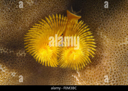 Bohol Sea, Philippines. 15th Oct, 2014. Christmas tree worm (Spirobranchus giganteus) Bohol Sea, Philippines, Southeast - Stock Photo