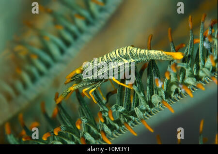 Bohol Sea, Philippines. 15th Oct, 2014. Amboinensis Crinoid shrimp (Periclimenes amboinensis) Bohol Sea, Philippines, - Stock Photo