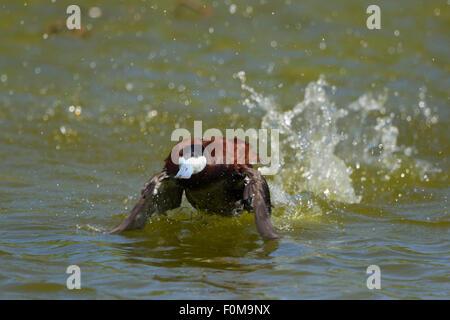 Ruddy Duck - male running display Oxyura jamaicensis Gulf Coast of Texas, USA BI027114 - Stock Photo