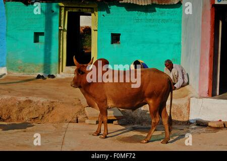 Indian Brahmin bull strolls through the village of Orchha in Madhya Pradesh - Stock Photo