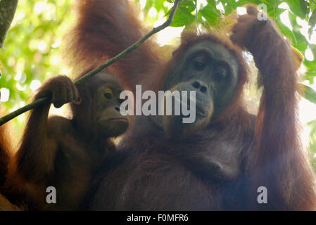 Mother and baby orangutan relax together in the jungle - Stock Photo