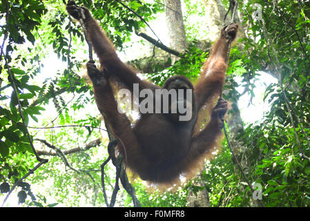 Mother Orangutan hanging around in the Jungle - Stock Photo