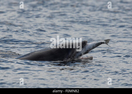 Bottlenose Dolphin hunting salmon in the Moray Firth - Stock Photo