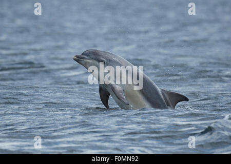 Young Bottlenose Dolphin in the Moray Firth. - Stock Photo