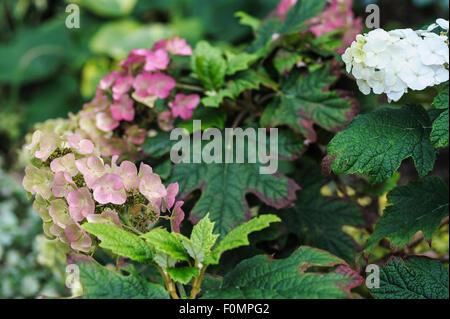 Hydrangea Quercifolia Snow Queen, late summer.Hydrangeaceae - Stock Photo
