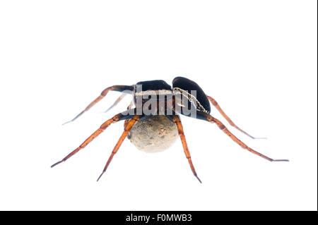 Female Raft spider (Dolomedes fimbriatus) carrying egg sac, Fliess, Naturpark Kaunergrat, Tirol, Austria, July 2008 - Stock Photo