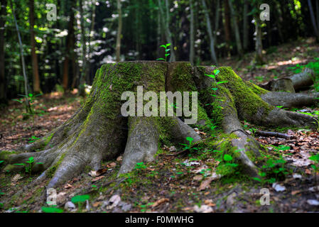 A High Dynamic Range (HDR) photograph of a moss-covered tree stump, taken in the Black Forest in Germany. - Stock Photo
