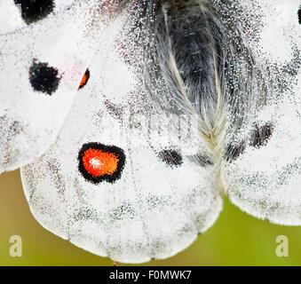 Apollo butterfly (Parnassius apollo) close-up, Fliess, Naturpark Kaunergrat, Tirol, Austria, July 2008 - Stock Photo