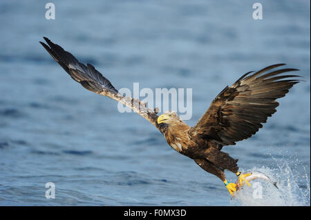 White tailed sea eagle (Haliaeetus albicilla) in flight just after having caught fish, Flatanger, Nord Trøndelag, - Stock Photo