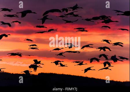 Common / Eurasian cranes (Grus grus) in flight at sunrise, Lake Hornborga, Hornborgasjön, Sweden, April 2009 - Stock Photo