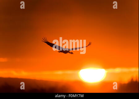 Common / Eurasian crane (Grus grus) in flight, silhouetted at sunrise, Lake Hornborga, Hornborgasjön, Sweden, April - Stock Photo
