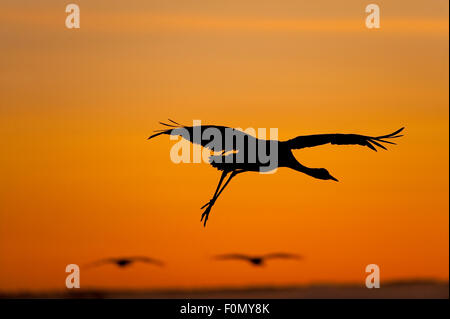 Common / Eurasian crane (Grus grus) landing, silhouetted at sunrise, Lake Hornborga, Hornborgasjön, Sweden, April - Stock Photo