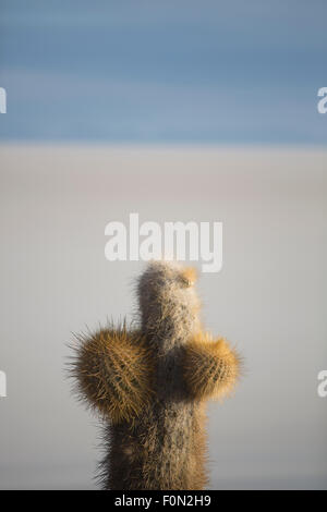 Small Trichoreus cactus standing on Isla Incahuasi (Isla del Pescado) in the middle of the world's biggest salt - Stock Photo