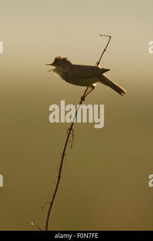 Marsh warbler (Acrocephalus palustris) singing in early morning light, Lithuania. June 2009 - Stock Photo