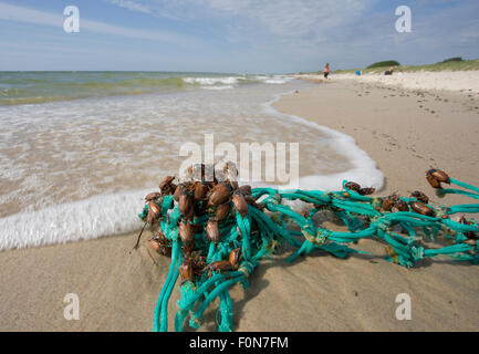 Common cockchafer / Maybug (Melolontha melolontha) stranded on rope jetsom on beach of Curonian Spit, Lithuania, - Stock Photo