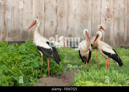 White stork (Ciconia ciconia) group feeding in allotment, Rusne, Nemunas Delta Regional Park, Lithuania, June 2009 - Stock Photo