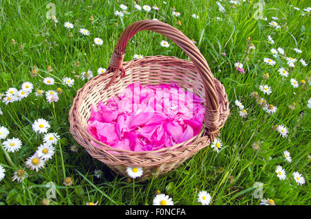 pink European peony petals in the woven wooden basket on grass