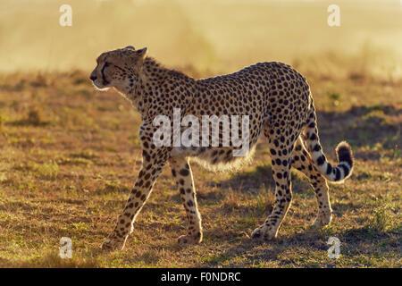 Cheetah (Acinonyx jubatus) in the morning light, Maasai Mara National Reserve, Narok County, Kenya - Stock Photo