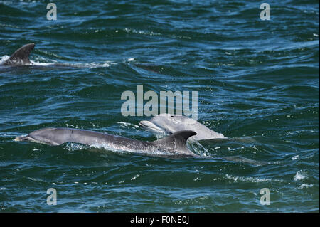 Three Bottlenosed dolphins (Tursiops truncatus) surfacing, Moray Firth, Nr Inverness, Scotland, May 2009 - Stock Photo