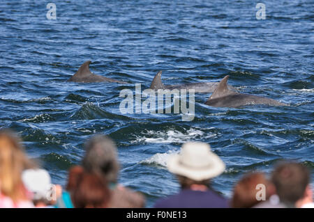 Rear view of visitors and local people watching Bottlenosed dolphins (Tursiops truncatus) on an incoming tide at - Stock Photo