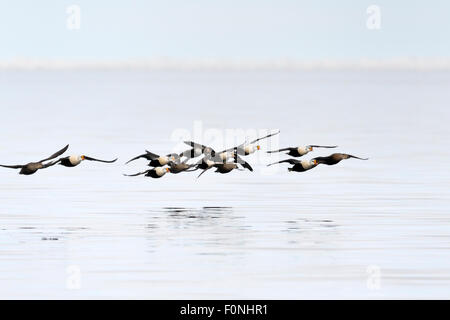 Group of King Eider (Somateria spectabilis) flying above water with reflection, Baffin bay, Nunavut, Canada. - Stock Photo