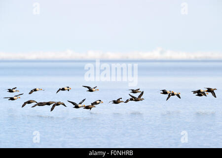 Group of King Eider (Somateria spectabilis) flying above water, with floe edge behind, Baffin bay, Nunavut, Canada. - Stock Photo
