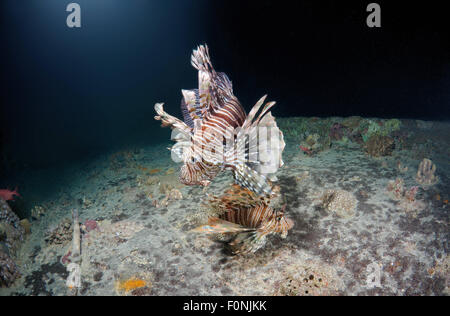 Red Sea, Egypt. 15th Oct, 2014. Two Red lionfish (Pterois volitans) on the shipwreck SS Thistlegorm (British armed - Stock Photo