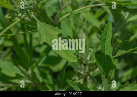 Foliage of Fig-leaved Goosefoot / Chenopodium ficifolium. - Stock Photo