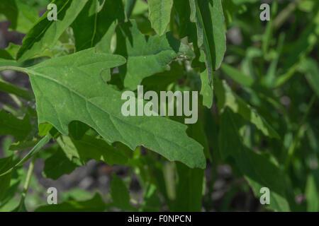 Leaf of Fig-leaved Goosefoot / Chenopodium ficifolium). - Stock Photo