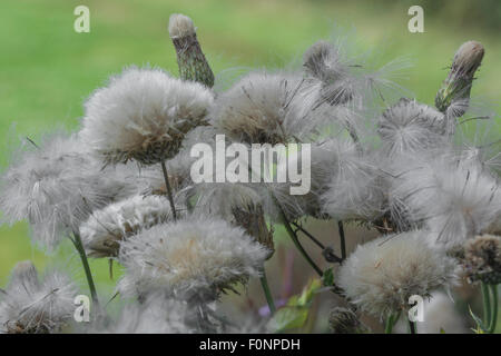 Thistle-down of the Spear Thistle (Cirsium vulgare)