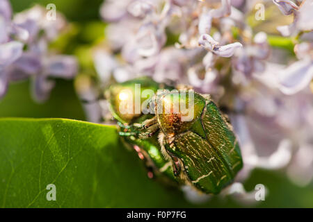 Macro view of two rose chafer (Cetonia aurata) mating on a garden hyacinth (Hyacinthus orientalis) against blurred - Stock Photo