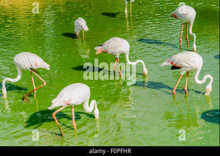 group of flamingo feeding aerial view in the lake - Stock Photo