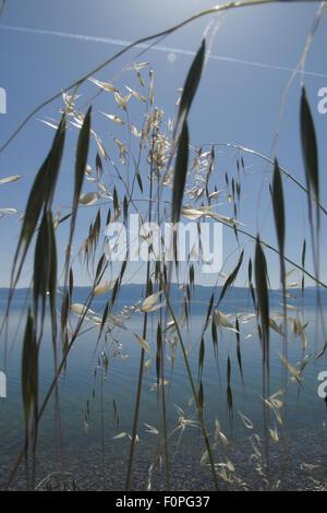 Wild oat grass (Avena fatua) growing along the side of Lake Ohrid, Lagadin region, Galicica National Park, Macedonia, - Stock Photo