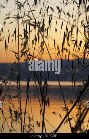Damselflies roosting amongst Wild oat grass (Avena fatua) silhouetted against the sun setting over lake Ohrid, Lagadin - Stock Photo