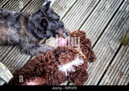 Cairn terrier dog and a Cockerpoo puppy playing with a ball - Stock Photo