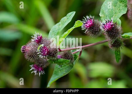 Summer thistle like blooms of the lesser burdock, Arctium minus, an UK native wildflower. - Stock Photo