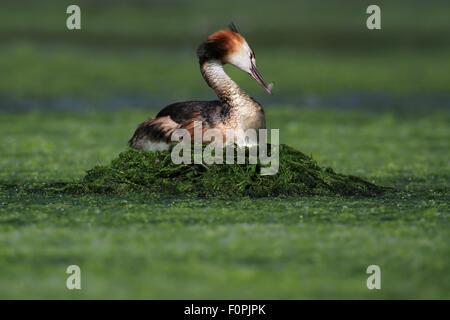 Great Crested Grebe (Podiceps cristatus) on green weed nest. Preening itself with feather in beak. Forfar Loch, - Stock Photo