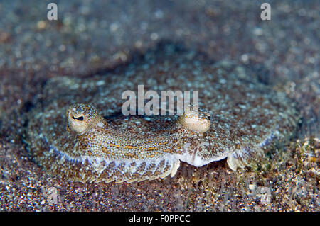Wide-eyed flounder (Bothus podas) on sea bed, Faial, Azores, Portugal, July 2009 - Stock Photo